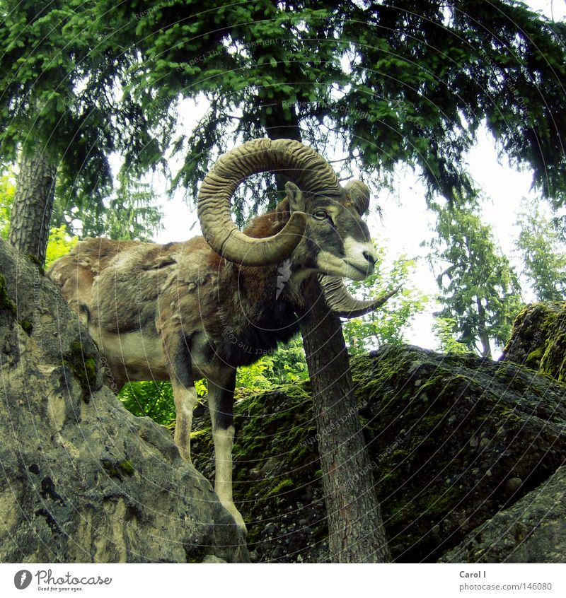 Widderig grün Baum Tier Wald Berge u. Gebirge Frühling grau Freiheit Stein Felsen maskulin Park Freizeit & Hobby Wildtier stehen Baumstamm