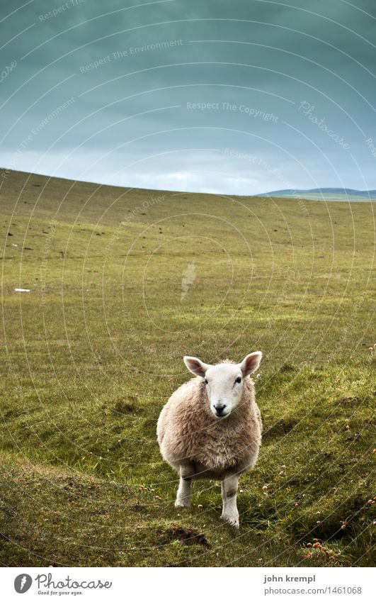 Schottischer Wolf Himmel Natur grün Landschaft Einsamkeit Tier Gras Coolness Hügel Neugier Gelassenheit Vertrauen Wachsamkeit Umweltschutz Schaf Erwartung