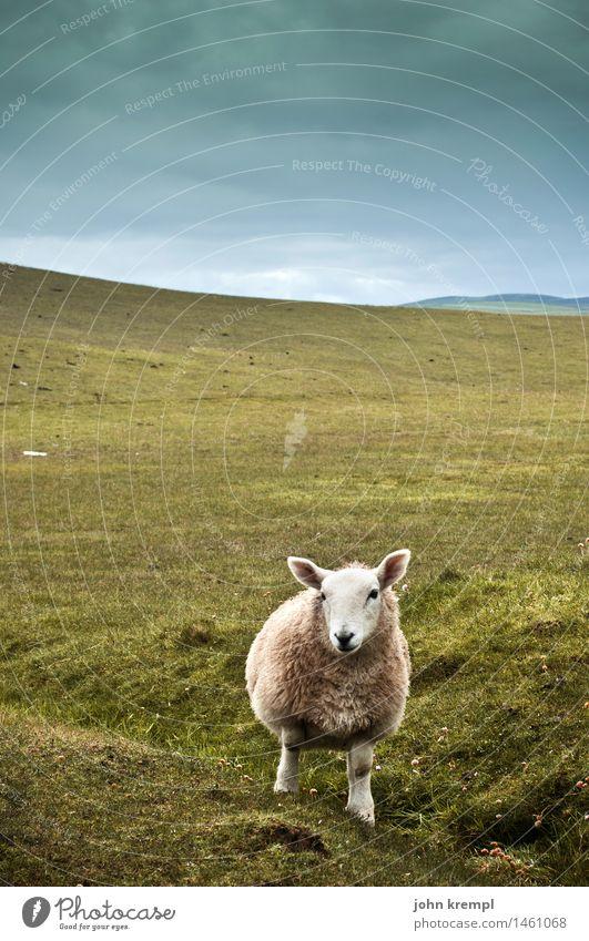 Schottischer Wolf Natur Landschaft Himmel Gras Hügel Schottland Nutztier Schaf 1 Tier Blick kuschlig Neugier grün Coolness Willensstärke Vertrauen Tierliebe