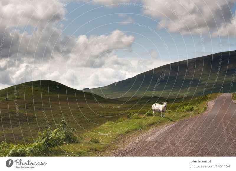 Per Anhalter Natur Landschaft Sommer Gras Highlands Schottland Straße Wege & Pfade Schaf 1 Tier warten Optimismus geduldig Fernweh Einsamkeit Fürsorge