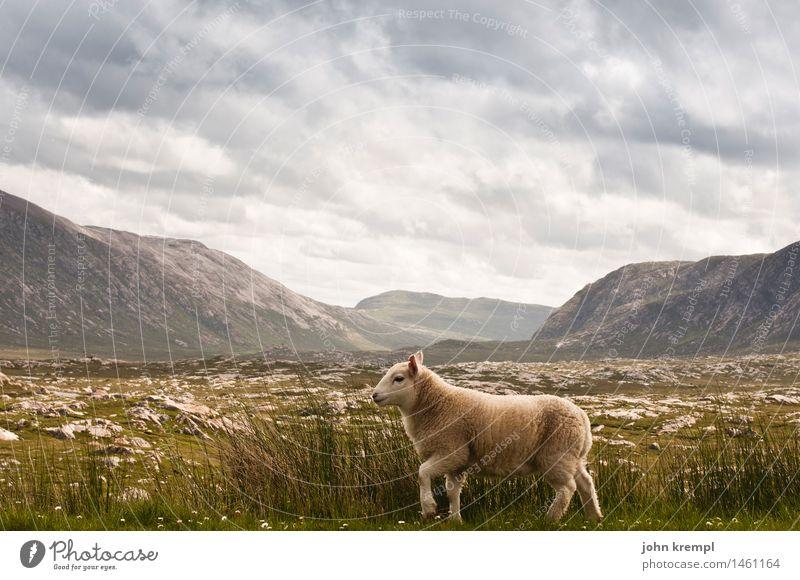 Passaschafant Natur Landschaft Wolken Gras Wiese Hügel Felsen Berge u. Gebirge Schottland Highlands Nutztier Schaf 1 Tier gehen Freundlichkeit Gesundheit