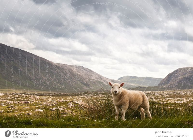 Schaf im Originalzustand Wolken Gewitterwolken Sommer Hügel Berge u. Gebirge Highlands Schottland Menschenleer Nutztier 1 Tier Tierjunges Blick stehen