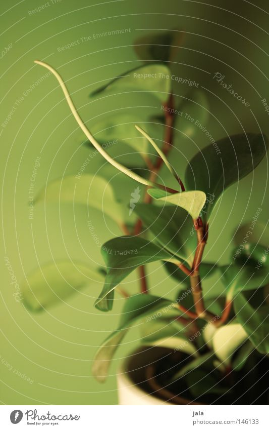 topfschönheit Pflanze Zimmerpflanze Stengel Blattgrün zart klein gedreht sanft hell nah weich Natur gewachsen Topf Blumentopf Raum Design Stil Haus ökologisch