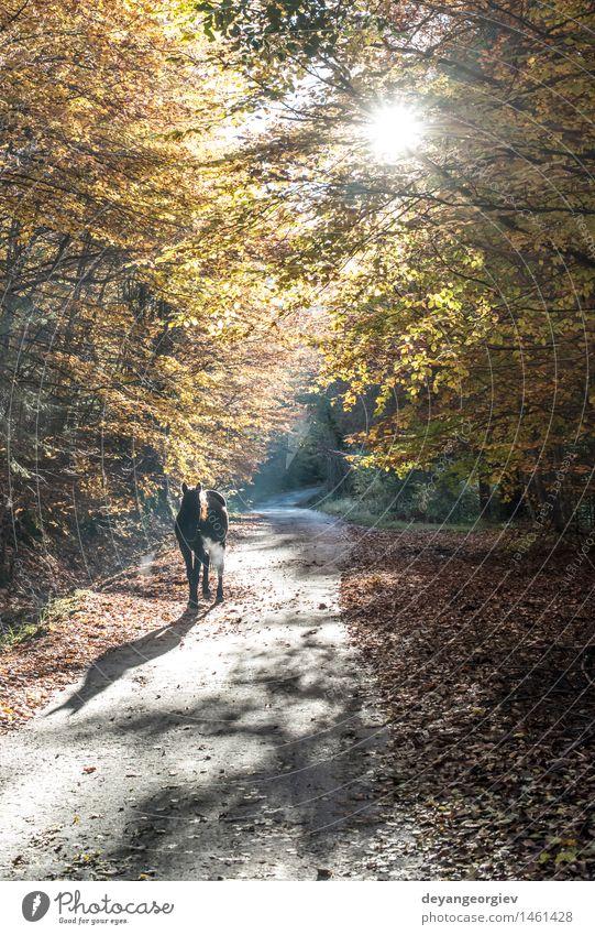 Pferd zwischen Herbstbäumen in einem Forest Park Natur Landschaft Tier Baum Blatt Wald wild braun gelb fallen Weide Licht Hengst altehrwürdig Jahreszeiten