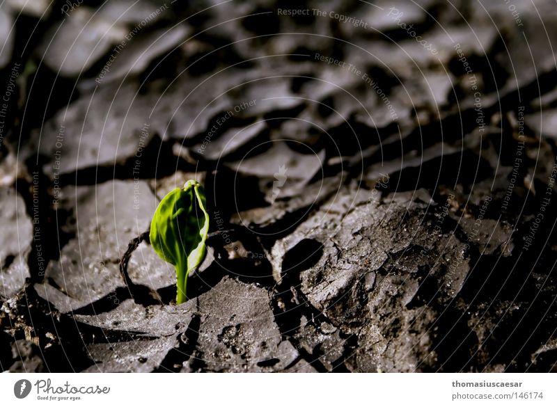 Auferstehung alt grün Blatt Sand Stein Frühling Erde Kraft Hoffnung Boden trocken stark Riss Dynamik kämpfen bewegungslos