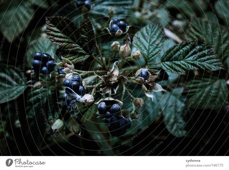 Schnellimbiss Beeren Brombeeren Frucht Ernährung Lebensmittel Natur Wachstum Ernte verarbeiten Produkt Gesundheit Vitamin Blatt blau Geschmackssinn