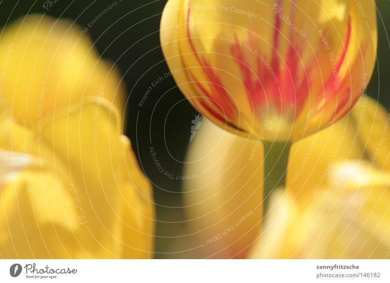 Tulpenmeer Pflanze rot Blume Freude gelb Leben Blüte Wärme Frühling frei frisch Fröhlichkeit Physik Blumenstrauß Tiefenschärfe