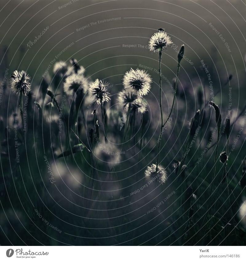 trauerblumen Wiese Feld Gras Halm Blume Löwenzahn Pflanze Wachstum Herbst Winter dunkel Einsamkeit grün braun Abend Nacht Mondschein Licht kalt Trauer