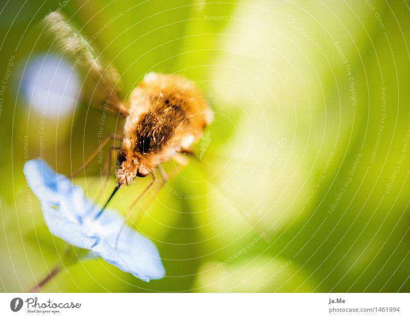 Lunchtime beim Hummelschweber Natur Pflanze Tier Frühling Sommer Schönes Wetter Blüte Garten Wildtier Fliege Flügel Fell Insekt Zweiflügler Hummelfliege
