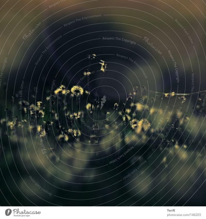 trauerblumen 2 Wiese Feld Gras Halm Blume Löwenzahn Pflanze Wachstum Herbst Winter dunkel Einsamkeit grün braun Abend Nacht Mondschein Licht kalt Trauer
