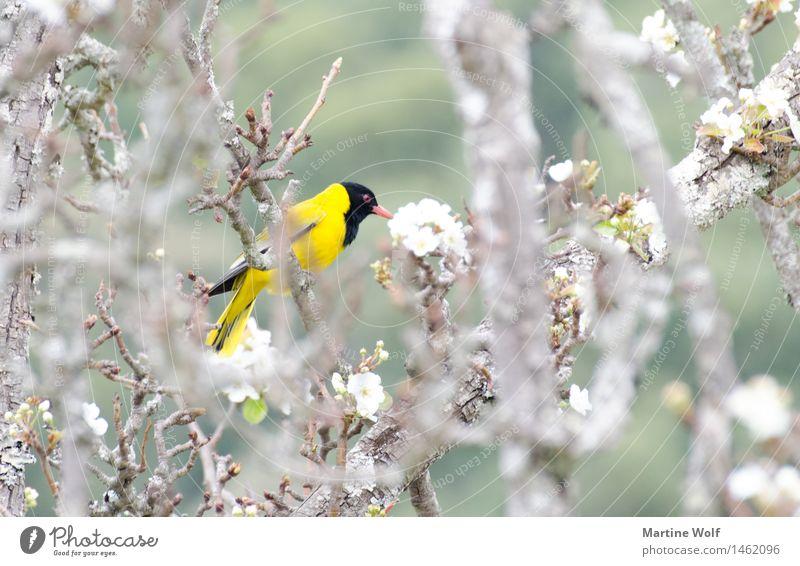 schwarz-gelb Natur Tier Frühling Baum Vogel 1 exotisch Farbe Afrika KwaZulu-Natal Maskenweber Ploceus velatus Southern masked weaver Webervogel