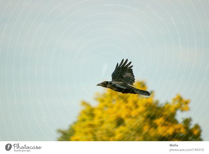 Der Meister ruft Himmel Baum grün blau Blatt schwarz gelb Herbst Vogel fliegen Luftverkehr Baumkrone Märchen Erzählung Literatur