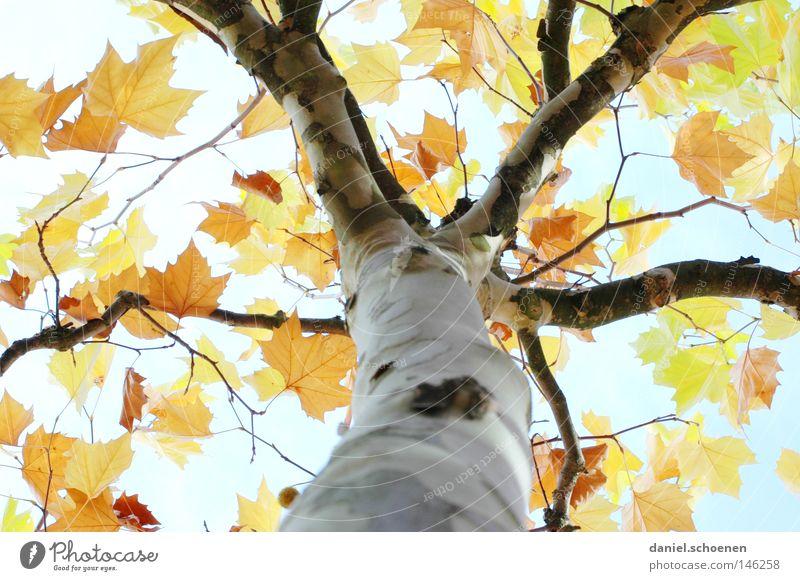Herbst 6 Himmel grün blau Baum Blatt gelb Farbe Herbst braun orange Perspektive Vergänglichkeit Baumstamm Jahreszeiten zyan Geäst