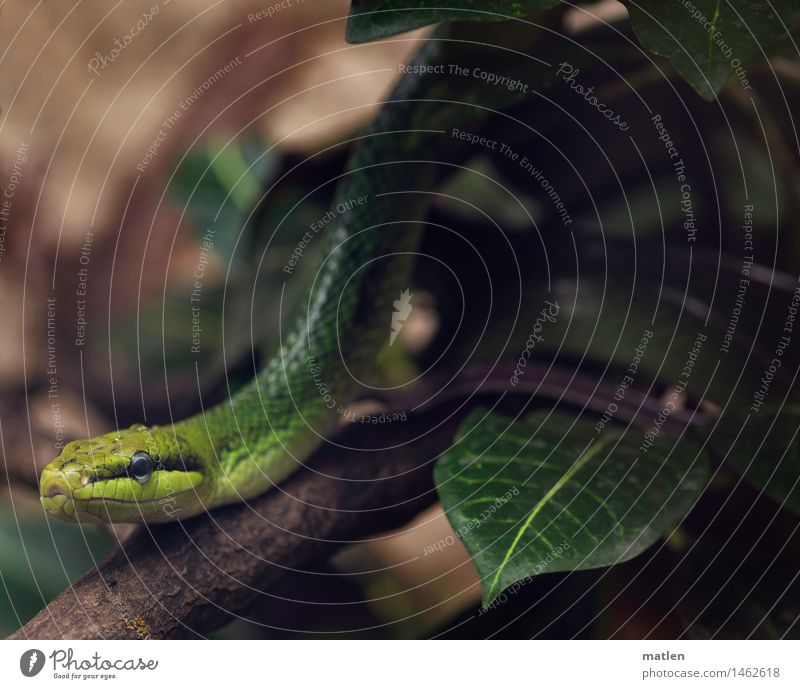 Gartenboa Zoo Sträucher Tier Schlange Tiergesicht Schuppen 1 bedrohlich exotisch braun gelb grün schwarz Ast Blatt Boa Farbfoto Gedeckte Farben Nahaufnahme
