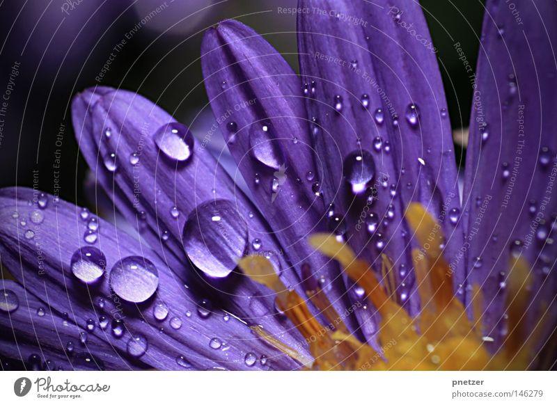 Oktoberregen Blume Blüte Makroaufnahme nass violett magenta Sommer Wachstum schön Herbst gelb Nahaufnahme Gewitter Regen Wassertropfen blau Farbe Blühend Wetter
