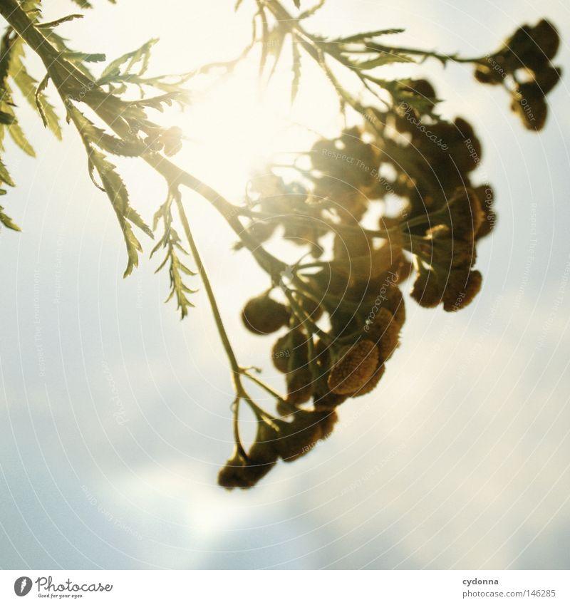 Wurmkraut Natur schön Himmel Sonne Blume grün Pflanze ruhig gelb Leben Blüte Wärme klein Idylle Strahlung filigran
