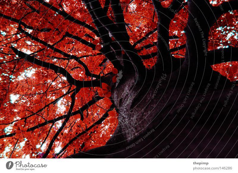Herbst Himmel Baum rot Blatt Wald Holz braun Ordnung Jahreszeiten Baumrinde Geäst Maserung Zweige u. Äste Holzstruktur