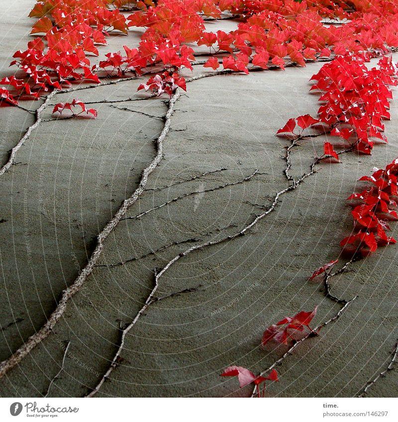 Da biste ja wieder, du alter Herbst! rief Lukas Pflanze rot Blatt Haus Leben Wand oben Mauer Kraft hoch Wachstum Wein Ast festhalten