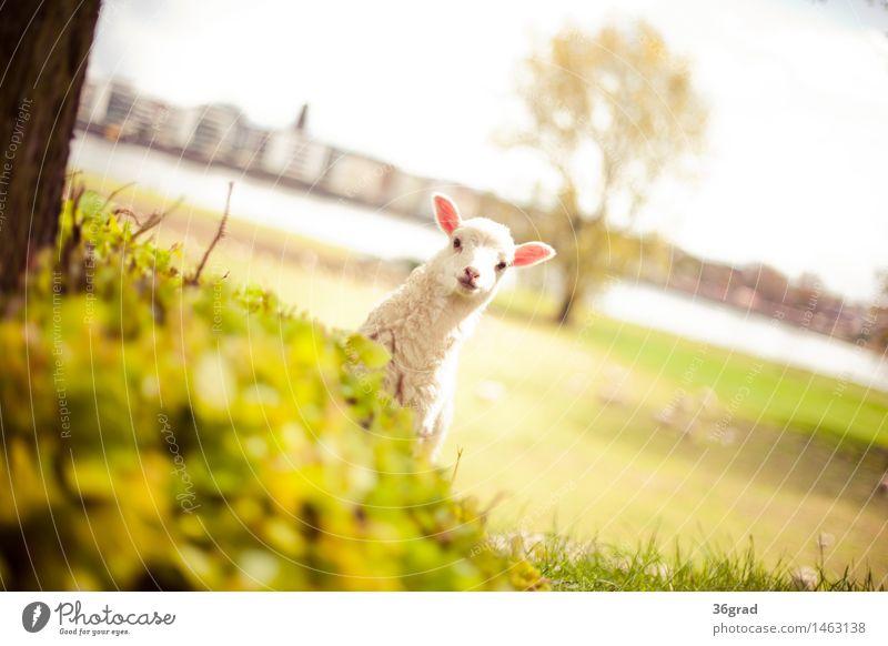 Guck Guck Natur Landschaft Gras Wiese Flussufer Stadt Tier Nutztier Fell Schaf Lamm 1 Tierjunges stehen frech Fröhlichkeit Glück kuschlig klein natürlich