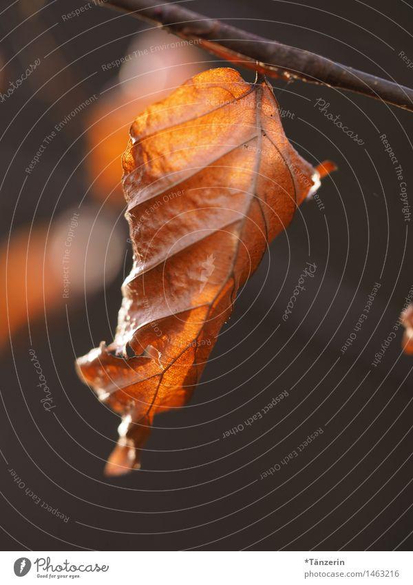 Blatt Natur Pflanze Herbst Schönes Wetter Baum Park Wald sportlich natürlich schön braun Verfall Vergänglichkeit Farbfoto Gedeckte Farben Außenaufnahme