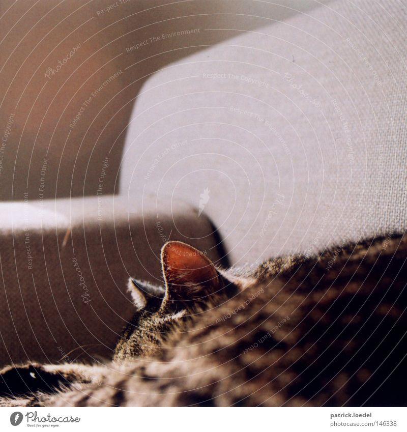 Sonnenbad Katze Sofa hören Radarstation schlafen Tier lümmeln tauchen Fell Haustier Polster grau Hauskatze Frieden Ohr Futter? So tun als ob Feline Katzenohr