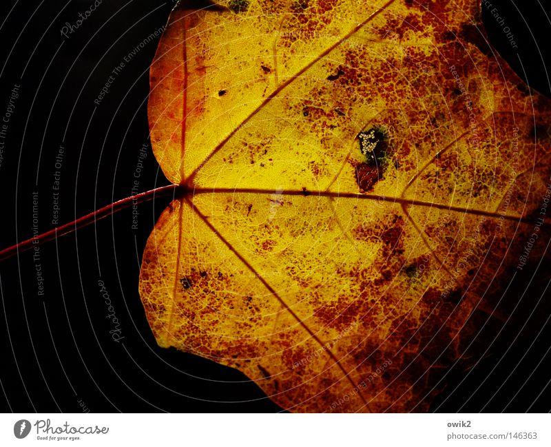 Waldmeister Umwelt Natur Pflanze Herbst Blatt einzigartig klein nah natürlich Originalität gelb orange rot schwarz Vergänglichkeit Wandel & Veränderung Laubbaum