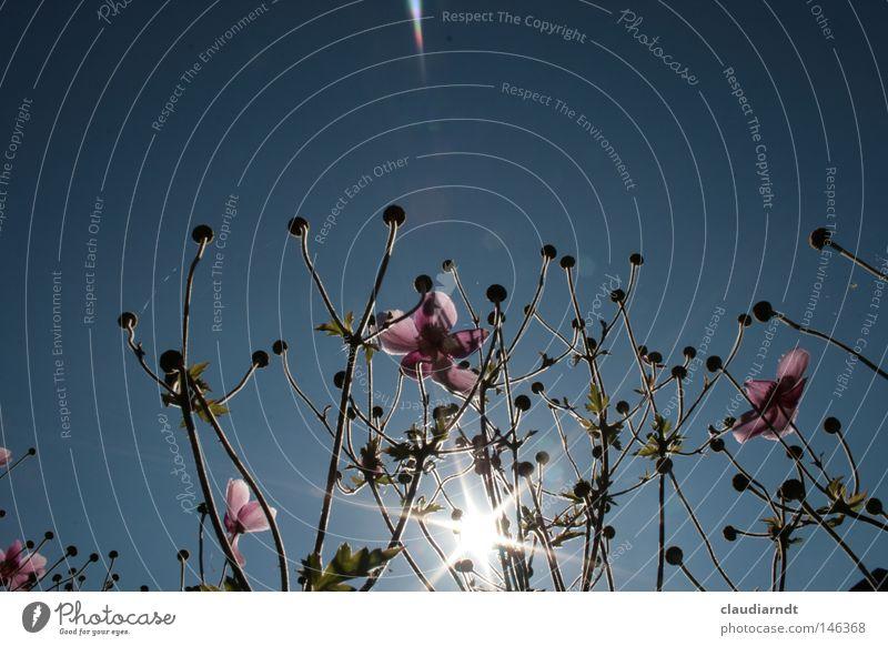 Sonnenanbeter Blume Blüte Blühend Pflanze rosa Sonnenstrahlen Anemonen schön Sonnenbad Perspektive Beleuchtung Käferperspektive