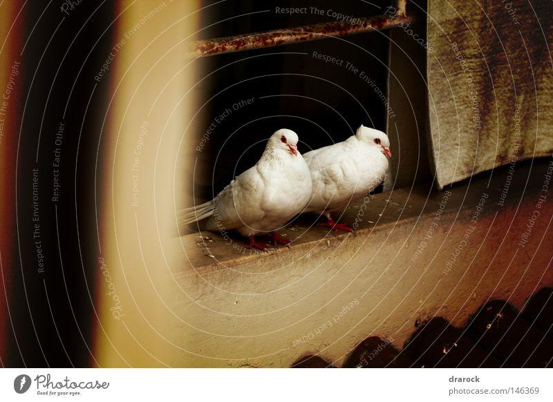 Tauben in dem Balkon Lomografie Tier Vogel Flügel Frieden Feder lomo Taubenvögel Drarock
