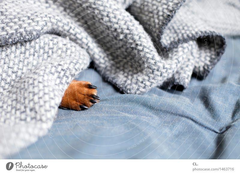 pfote Häusliches Leben Wohnung Sofa Tier Haustier Hund Krallen Pfote Dackel 1 Decke Erholung schlafen klein niedlich braun grau Geborgenheit Tierliebe ruhig