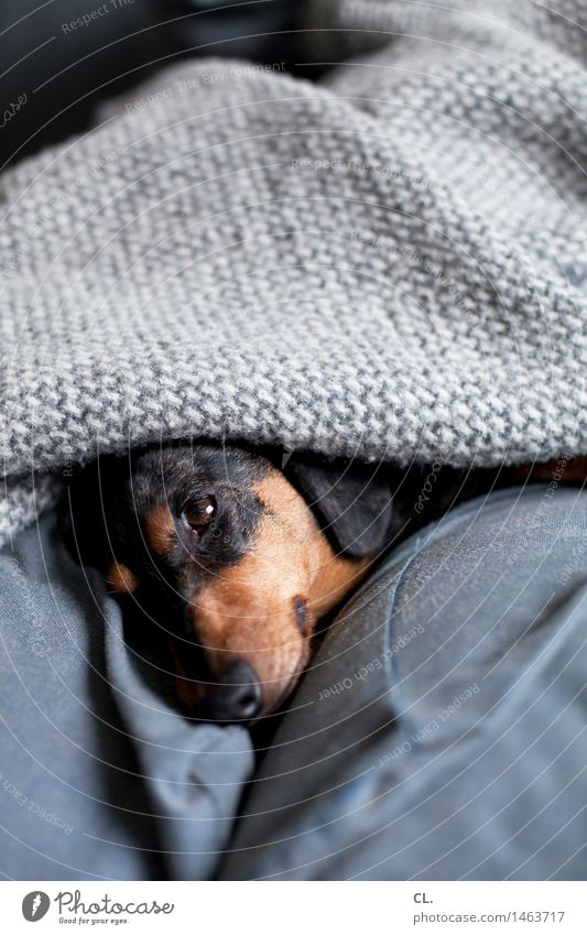 verbissen verschlafen Häusliches Leben Wohnung Sofa Tier Haustier Hund Tiergesicht Dackel 1 Decke Erholung niedlich Geborgenheit Tierliebe Farbfoto
