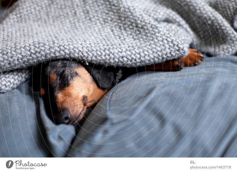 ausschlafen Hund Erholung ruhig Tier grau braun Wohnung liegen Zufriedenheit Häusliches Leben Freizeit & Hobby niedlich Pause Sofa Haustier
