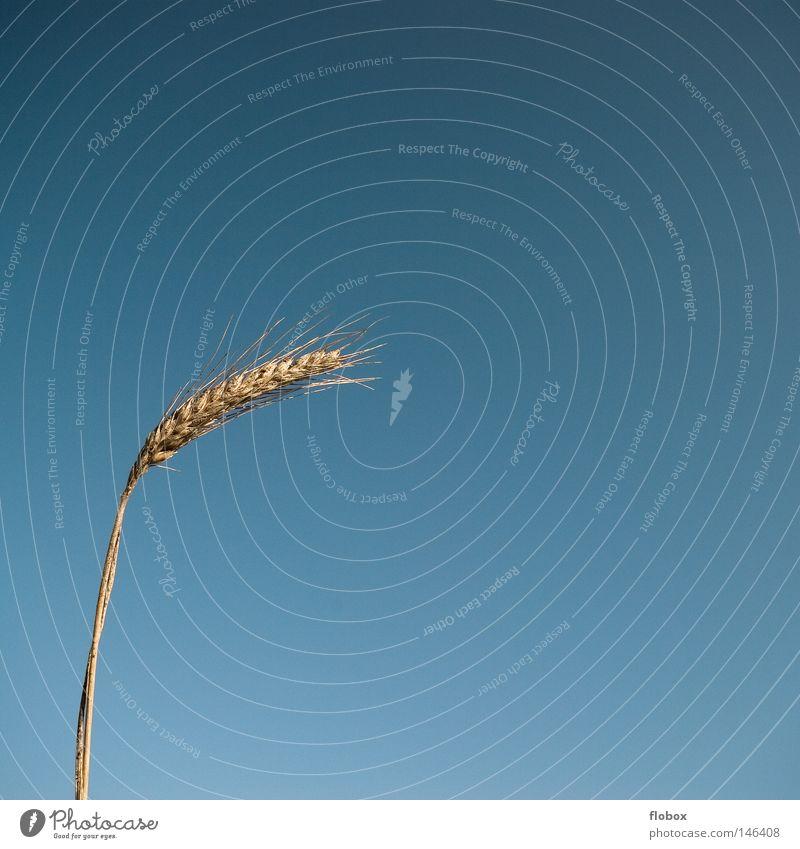 Minimal Himmel Natur blau Pflanze gelb Wärme Gras Erde Feld gold Lebensmittel Wachstum Ernährung Landwirtschaft Physik
