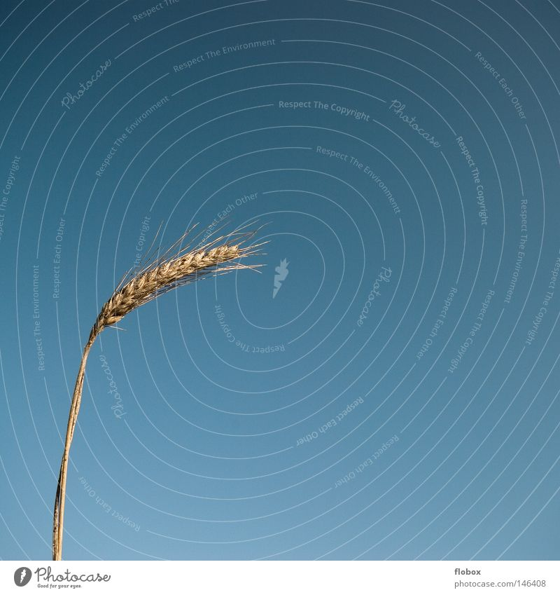 Minimal Himmel Natur blau Pflanze gelb Wärme Gras Erde Feld Erde gold Lebensmittel Wachstum Ernährung Landwirtschaft Physik