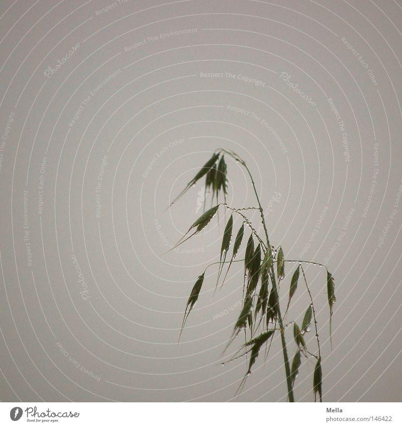 Tränendes Gras Pflanze ruhig dunkel Herbst Tod grau Traurigkeit Regen Wassertropfen nass Trauer trist Tropfen Verzweiflung Halm