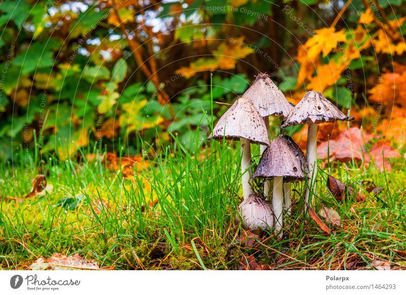 Pilze im Wald im Herbst schön Sommer Natur Pflanze Gras Moos Blatt Park Wiese Wachstum frisch natürlich wild braun grün gefährlich Farbe fallen magisch Märchen