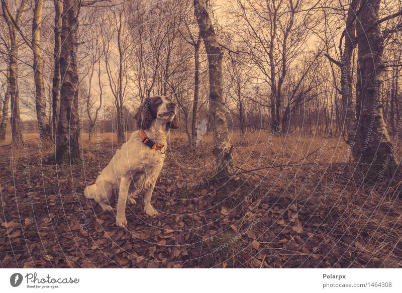 Hund, der im Wald am Herbst sitzt Frau Himmel Natur weiß Baum rot Blatt Tier Erwachsene Umwelt Wege & Pfade natürlich braun