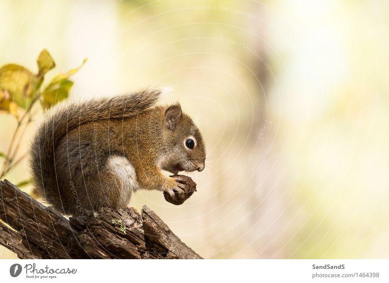 Amerikanisches Eichhörnchen Natur schön Baum rot Tier Wald gelb Herbst lustig braun Wildtier Ernährung niedlich USA Tiergesicht Säugetier