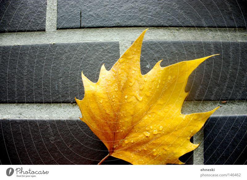 Das goldene Blatt gelb Herbst Wand Regen Wassertropfen Backstein Fuge Ahorn Indian Summer