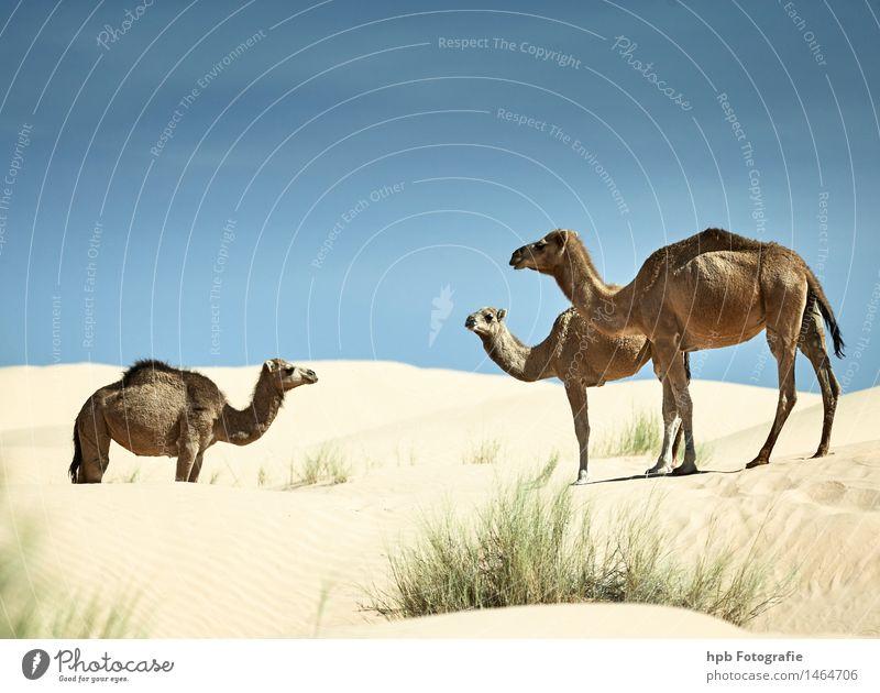 Kamele Ferien & Urlaub & Reisen Tourismus Ausflug Abenteuer Safari Expedition Natur Landschaft Tier Sand Wärme Dürre Wüste Dromedar 3 Tiergruppe Herde