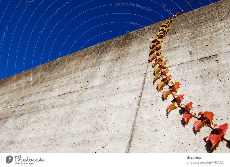 himmelwärts Himmel grün blau Pflanze rot Herbst Wand grau Mauer Beton Klettern Ranke Efeu Kletterpflanzen Sommertag