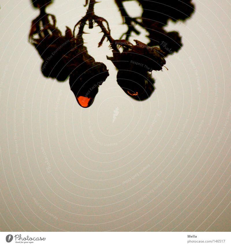 Tears like blood Umwelt Natur Pflanze Wassertropfen Brombeerbusch Brombeeren Tropfen hängen verblüht dehydrieren außergewöhnlich dunkel nass natürlich trist