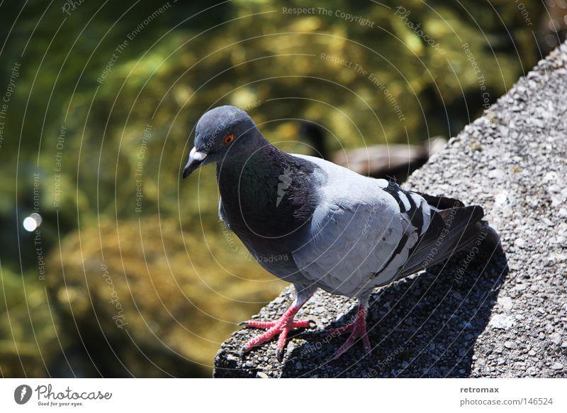 Taube Tobi Vogel fliegen Feder Tier Wasser Reflexion & Spiegelung See Physik Teich nass Wärme