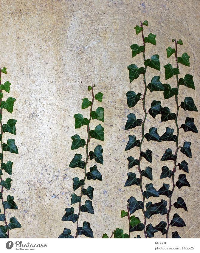 Es wächst Farbfoto Außenaufnahme Blick nach oben Haus Pflanze Efeu Blatt Mauer Wand Fassade Stein Wachstum grau grün Ranke Reifezeit aufwärts steinig Putz