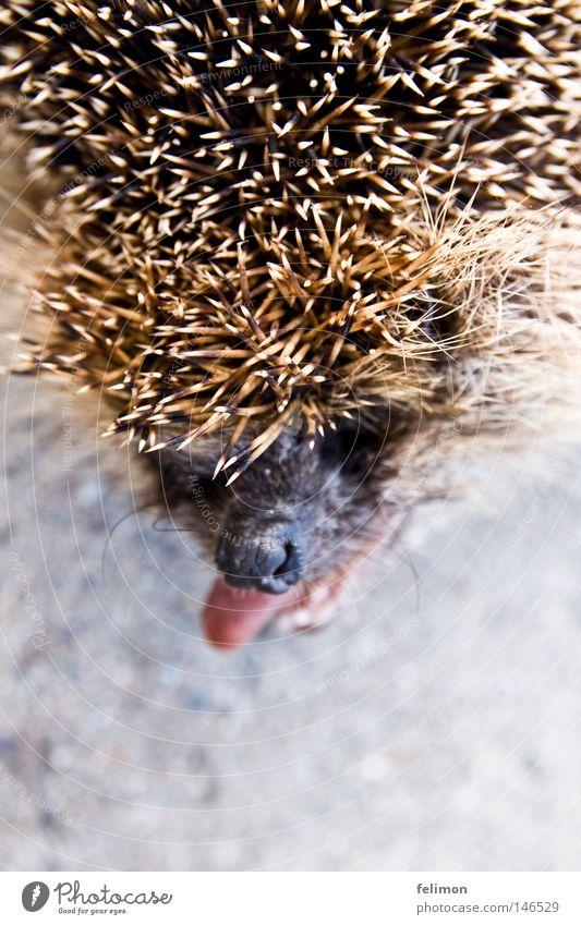 igelrüde oder igelzicke? Tier Kopf Nase Boden Bodenbelag Asphalt Zunge frech stachelig Stachel Igel