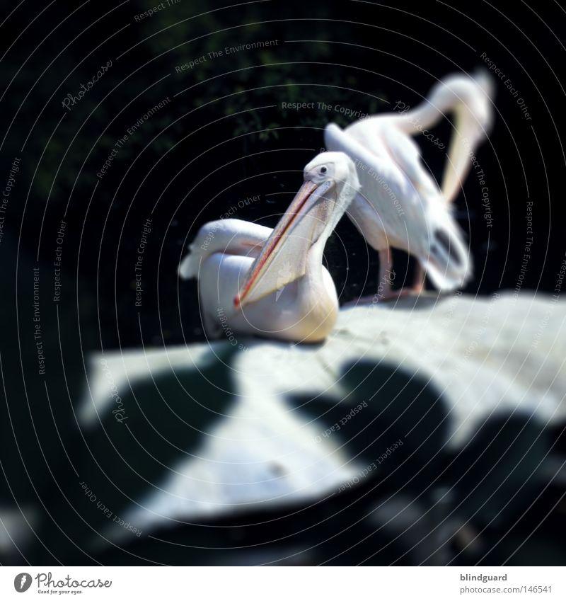 Nigel & Friend Pelikan Vogel Schnabel groß Zoo gefangen Wasser Unschärfe fokussieren dunkel weiß hell Feder Auge Kopf Pause Erholung Felsen Baum Sträucher Blick