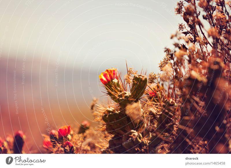 Blühen Natur Pflanze Blüte Wildpflanze Hügel Berge u. Gebirge Schlucht schön klein niedlich Spitze Kaktus Kakteenblüte Kaktusfeld Drarock Farbfoto Außenaufnahme