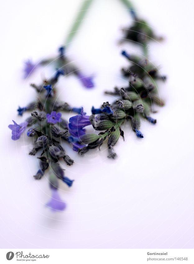 Lavender Natur blau weiß schön Pflanze Blume Sommer Farbe Blüte Frühling Gesundheit frisch weich Frieden violett Tee