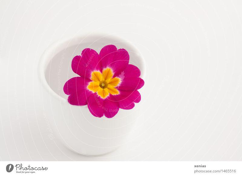 Pinkfarbene Primel liegt in weißem Becher mit Wasser vor weißem Hintergrund Blüte Primelgewächse Frühling gelb rosa schön Vase Kissen-Primel