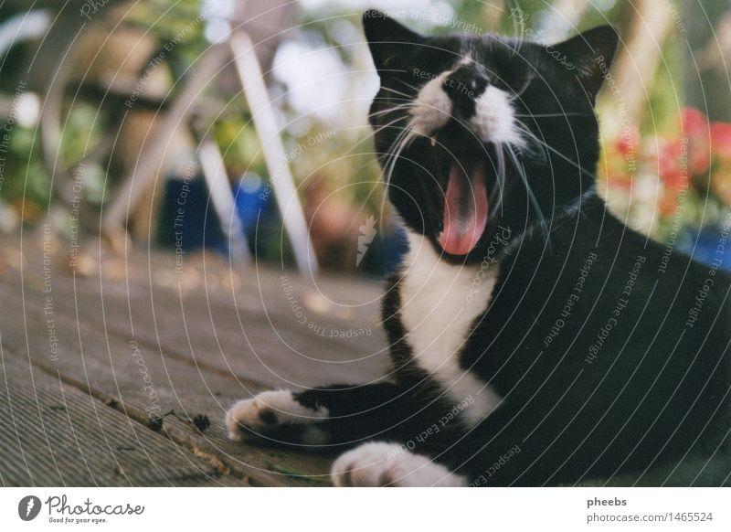 der sommer als idee Katze Terrasse Ferien & Urlaub & Reisen Sommer Herbst Garten gähnen Pfote Tier Hauskatze schwarz weiß Tisch Holzfußboden