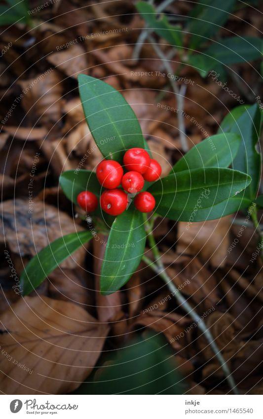 Chinesische Stechpalme Pflanze Herbst Sträucher Blatt Grünpflanze exotisch Ilex Beeren Garten rund braun grün rot Natur Farbfoto Außenaufnahme Nahaufnahme